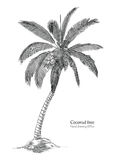 Coconut tree hand drawing engraving style. Isolated on white background Royalty Free Stock Photo