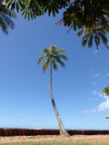 Coconut tree hang over stone cliff shore next to shallow ocean w Stock Images