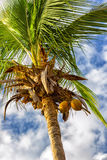 Coconut tree. With hanging coconuts Stock Photography