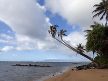 Coconut Tree hangs over rocks and beach Royalty Free Stock Image