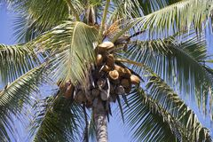 Coconut tree in Hawaii Stock Images