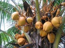 Coconut Tree. In Honduras, Central America Royalty Free Stock Photo
