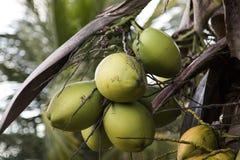 Free Coconut Tree In Garden , Cocos Nucifera Stock Photography - 89850442