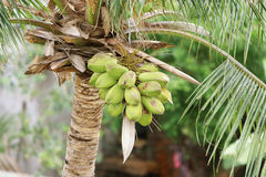 Coconut Tree in India. Coconut Tree with Tender coconut Royalty Free Stock Image