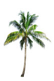 Coconut tree. Isolate on white background Stock Photo