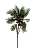 Coconut tree. Isolate on white background Royalty Free Stock Image