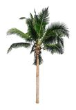 Coconut tree. Isolated on white background Royalty Free Stock Images