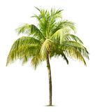 Coconut tree. Isolated on white background Royalty Free Stock Photo