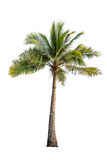 Coconut tree on isolated white background Royalty Free Stock Images