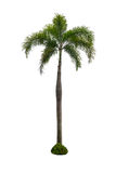 Coconut tree isolated on white background. And clipping path Stock Image
