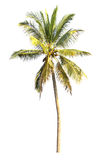 Coconut  tree isolated on white background Royalty Free Stock Images