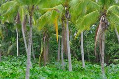 Coconut tree Jungle Royalty Free Stock Photos