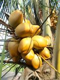 Coconut tree with king coconut fruit. Yellow Stock Photography