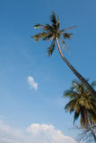 Coconut tree. Large coconut tree with clear blue sky royalty free stock photos