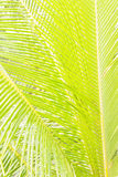 Coconut tree leaf background. Coconut tree leaf can be used as background Stock Images