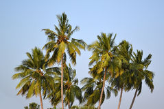 Coconut tree Royalty Free Stock Images