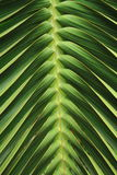 Coconut tree leaf texture Royalty Free Stock Photo