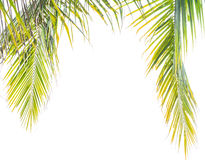 Coconut tree leafs Royalty Free Stock Image