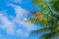Tree leaves backing by scattered cloud blue sky. A coconut tree leaves backing by scattered cloud sky. some leaves are ripen to bright orange Stock Photos