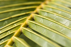 Coconut tree leaves stock image