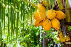 Coconut tree with leaves and fruits Stock Photography