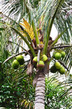 Coconut tree. And the leaves in garden royalty free stock photos
