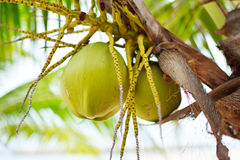 Coconut tree. Macro of Coconut on coconut tree royalty free stock photo