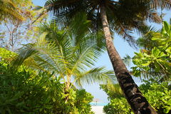 Coconut tree on Maldives beach Royalty Free Stock Photos