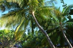 Coconut tree at Maldives Stock Image