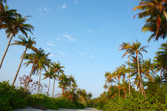 Coconut tree on Maldives beach Stock Images