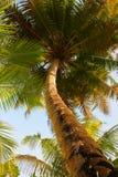 Coconut tree on Maldives Stock Image
