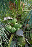 Coconut tree. Many coconut on tree and green leaves Royalty Free Stock Photography