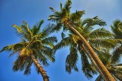 Coconut Stock Photography