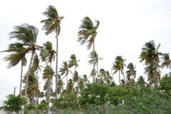 COCONUT TREE. With nice sky Stock Photo