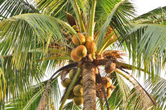 Coconut tree,Old coconut on bunch Royalty Free Stock Photos