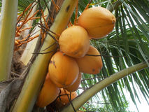 Yellow king Coconut tree. Orange or yellow king coconut tree on the garden Stock Photo