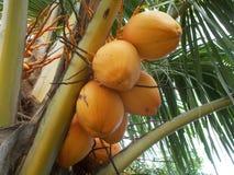 Yellow king Coconut tree  Stock Photo
