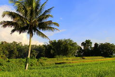 Coconut tree and paddies field. Landscape of paddies field on the sunny day Royalty Free Stock Photos