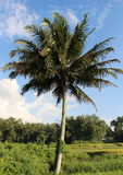 Coconut tree and paddies field. Landscape of paddies field on the sunny day Stock Image