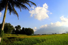 Coconut tree and paddies field. Landscape of paddies field on the sunny day Royalty Free Stock Image