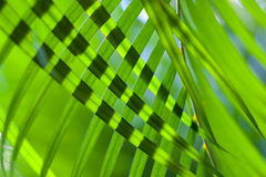 Coconut tree palm leaves crossed for natural background or texture with backlit. Sunlight through leaves. Selective. Soft focus Green palm leaves natural Stock Image