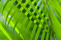 Coconut tree palm leaves crossed for natural background or texture with backlit. Sunlight through leaves. Selective. Soft focus Green palm leaves natural Royalty Free Stock Photography