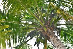 Coconut tree. A picture of coconut tree Royalty Free Stock Photography