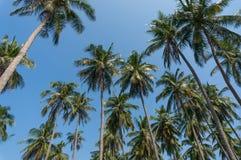 Coconut tree plantation. Stock Photo
