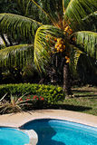 Coconut tree by the pool at noon chilling out in Tobago Stock Photos