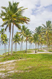 Coconut tree at Porto de Galinhas beach Royalty Free Stock Images