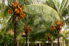 The coconut tree in pulau redang, malaysia Stock Images