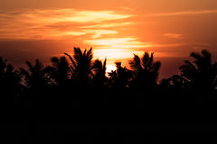 Coconut tree and rice filed at sunset. Royalty Free Stock Photo