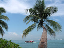 Coconut tree and sea. This coconut is bent and leaning over the water. there was a water-taxi passing by in the shot. Location : sentosa island in singapore Royalty Free Stock Photos