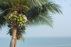 Coconut tree. With sea background Stock Photo